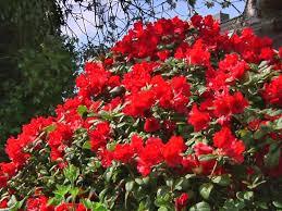 rododendron scarlet wonder