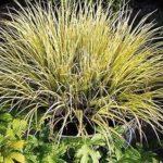 acorus golden delight
