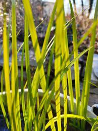 acorus golden delight1