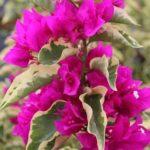 bungevilija variegata ljubicasta