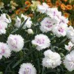 dianthus everlast white