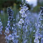 veronica gentanoides little blue