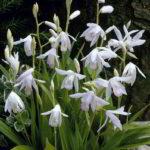 bletilla striata white