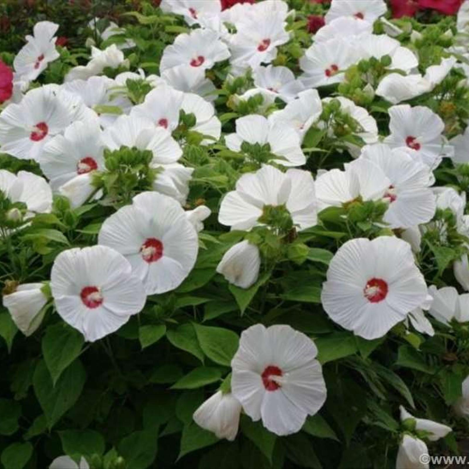 hibiskus močvarni beli1