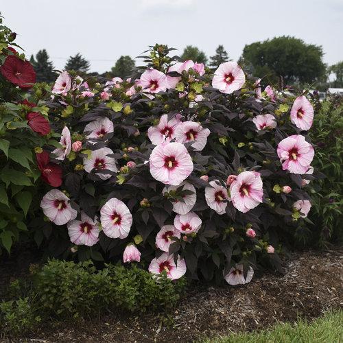 močvarni hibiskus- hibiskus moscheutos