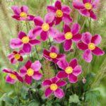 Anemona hupehensis splendens2