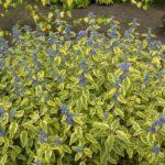 Caryopteris summer sorbet1