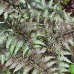 athyrium niponicum var pictum