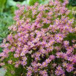 coreopsis rosea american dream1