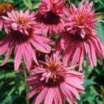 echinacea double decker 1