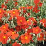 helianthemum fire dragon1