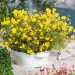 helianthemum golden queen cherry1