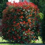 photinia red select