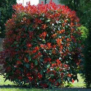 photinia red select