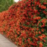 pirokanta crvena - vatreni trn