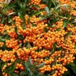 piracantha orange