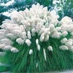 pampas trava bela