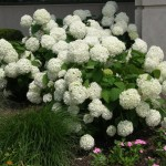 hortenzija bela