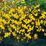 jasmin nudiflorum