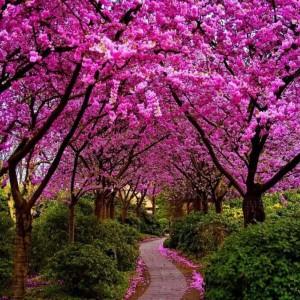 cercis - judino drvo