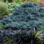 juniperus blue star2
