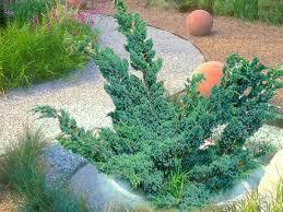 juniperus mayeri