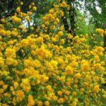 keria japonica