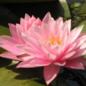 lokvanj svetlo ružičasti