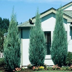 juniperus moonglow