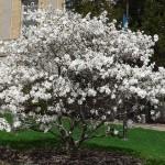 magnolija bela stellata
