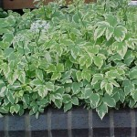 aegopodium variegatum1