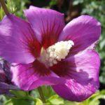 hibiskus russian violet