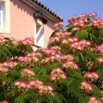 albicija - kineska mimoza