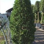 carpinus betulus fastigiata - grab