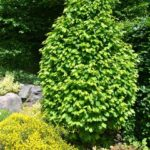 carpinus betulus monument - grab