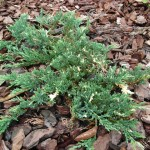 juniperus horizontalis variegatum