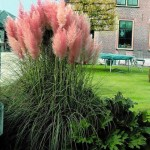 pampas trava roze