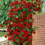 -ruže penjačice