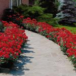 -ruže mnogocvetnice