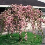 cvetajuća trešnja padajuća - prunus kiku shidare zakura