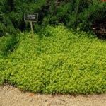 thymus aurea - zlatni