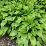 hosta clausa green