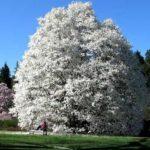 magnolija kobus