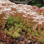 sedum album coral carpet