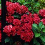 hortenzija hot red