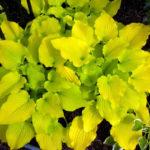hosta golden lemon