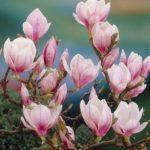 magnolija soulangeana