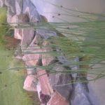 juncus - barska trska