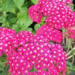 achillea millefolium rose madder