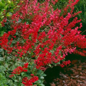 heuhera sa crvenim cvetom